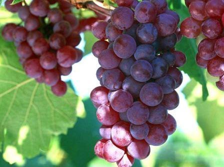 Красный виноград при беременности