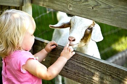 Козье молоко для детей польза или вред